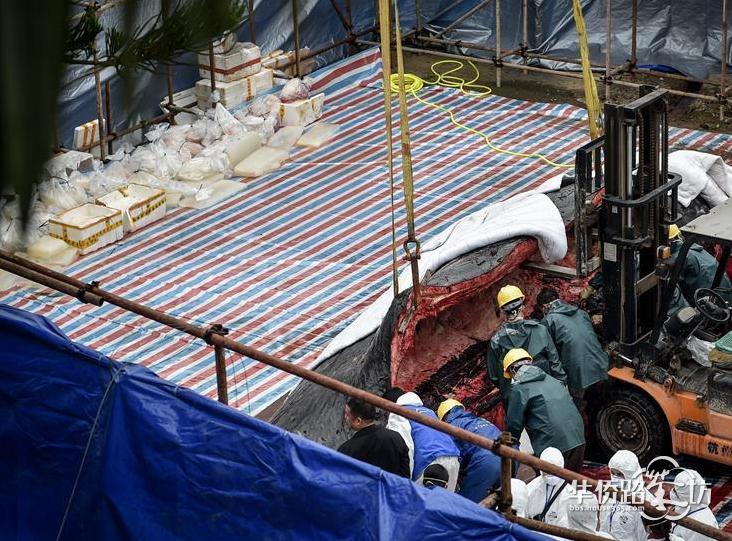 搁浅死亡鲸鱼已怀孕 解剖遗体发现胎儿